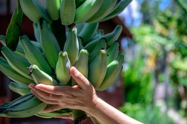 industryinstitute-initiative-to-make-banana-farmers-to-go-bananas